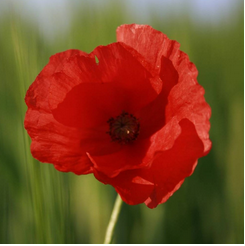 Fleur de coquelicot rouge